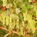 Grapes in Grape Valley